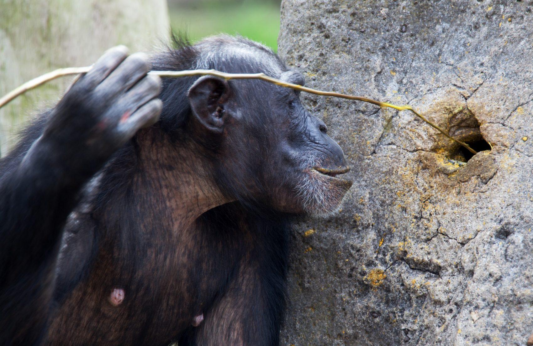 En sjimpanse som stikker en kvist inn i et hull i treet