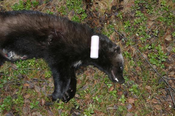 En Jerv som ligger på bakken etter å ha fått radiosender innoperert i buken