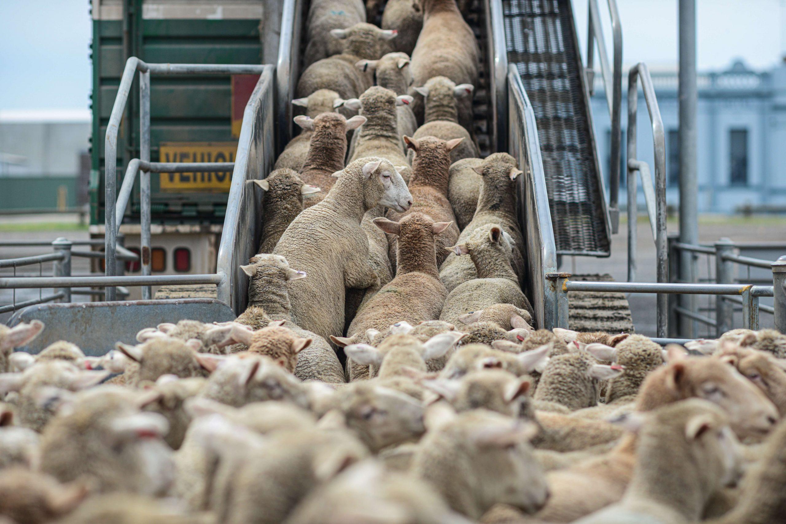 Mange sauer blir fraktet inn i transportbil, tett i tett