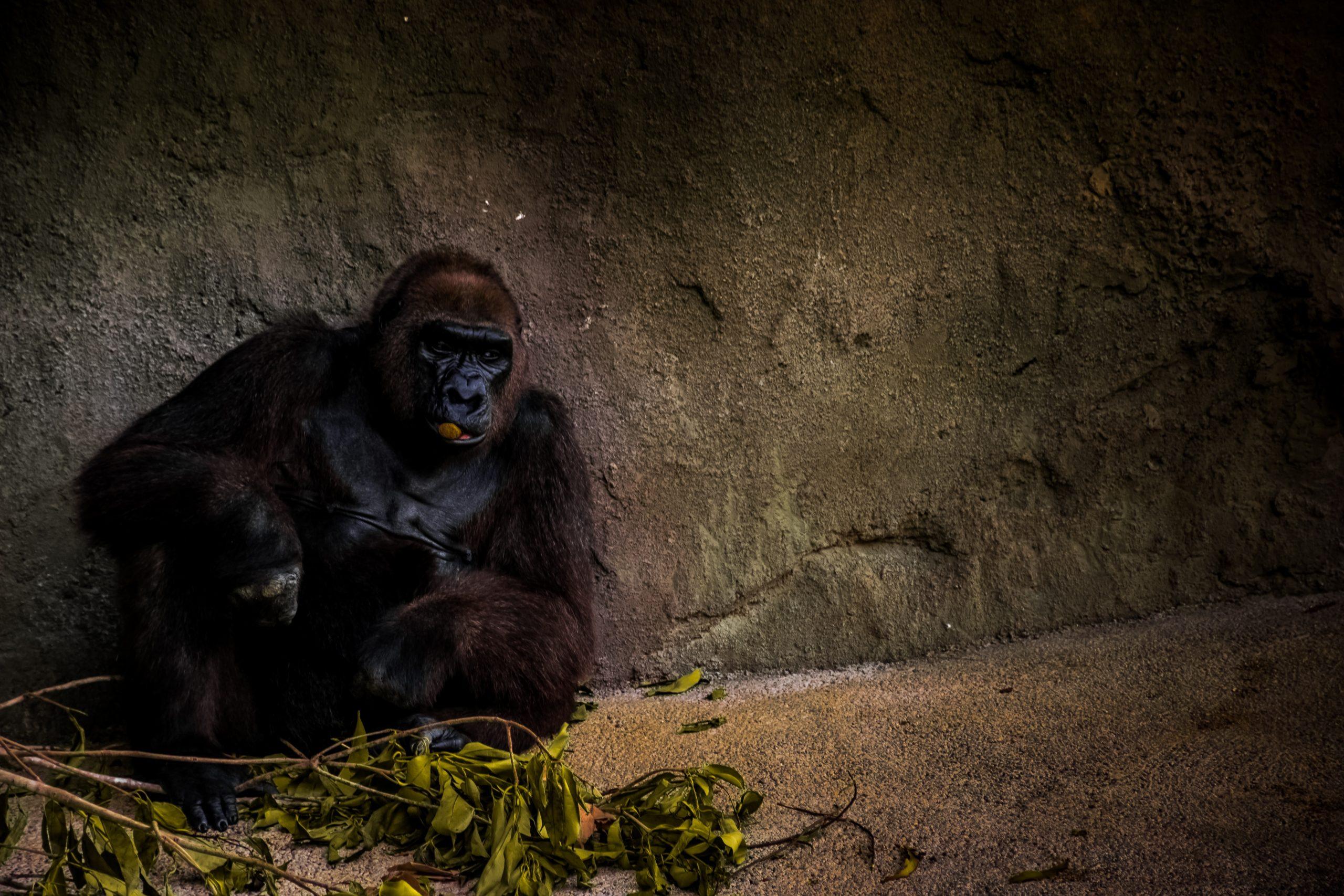 En gorilla i dyrehage som sitter deprimert inntil en steinvegg i buret sitt