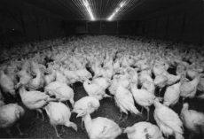 VKMs rapport peker på en rekke problemer for kalkuner i norsk kjøttpoduksjon, bl.a. utilstrekkelig med plass og mangel på miljøberikelse.