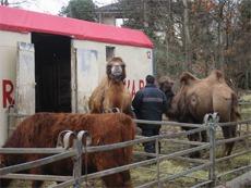 Kameler står i trange binger på Arnardo år etter år. Foto: NOAH