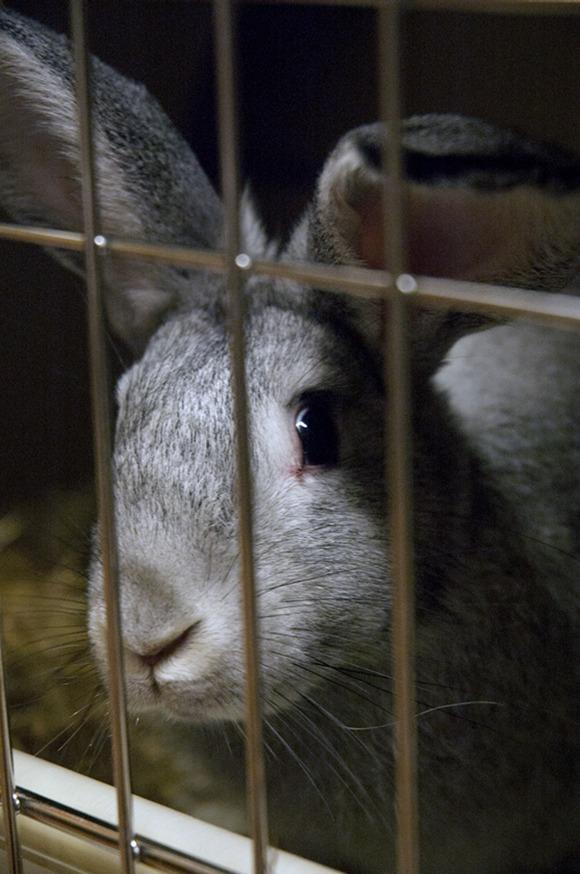 En grå kanin i lite bur på forskningslab.