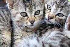 kattungefjes