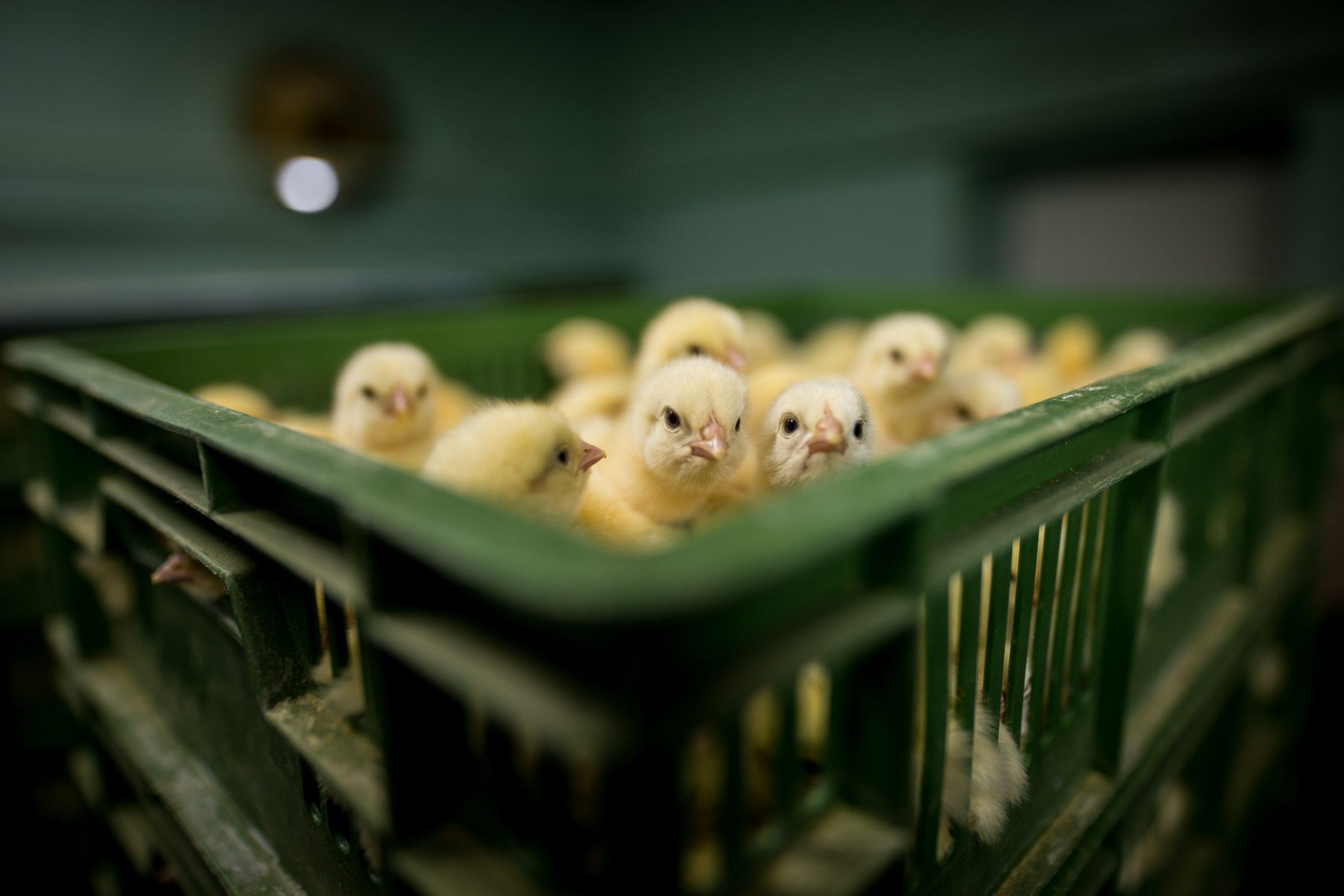 Mange kyllinger ligger i en plasteske i produksjonsfabrikken