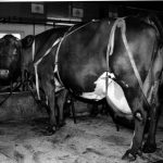 Melk – kyrne og kalvenes tårer