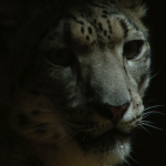 Den enøyde leoparden