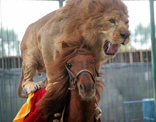 Løve rir på hest på kinesisk sirkus