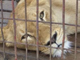 løve i bur dyrepark