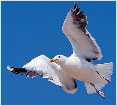 Bli medlem av vår støttegruppe for måkene på www.facebook.com ...: www.dyrsrettigheter.no/menneske-og-andre-dyr/maker-–-kystfugler-i...