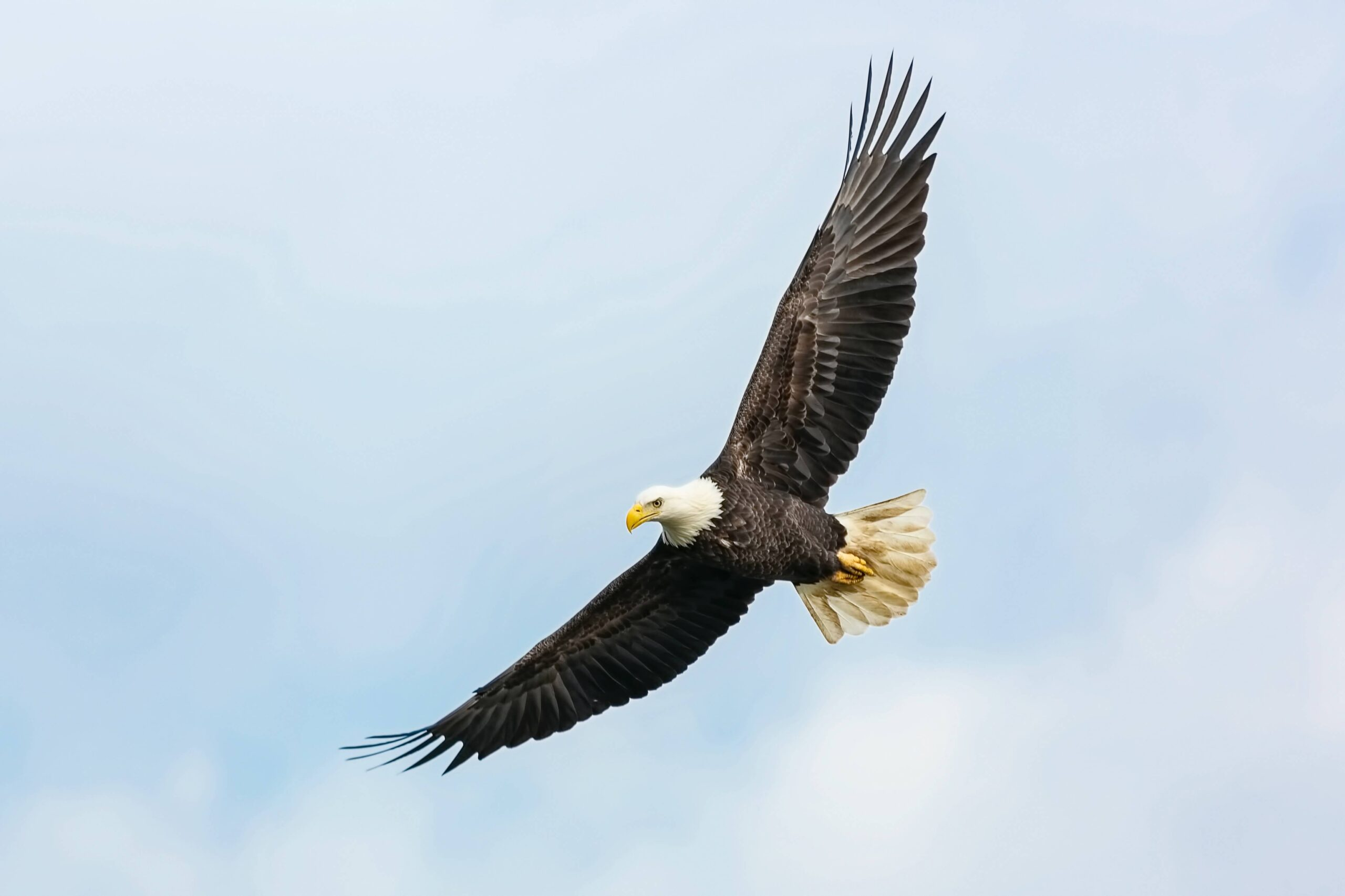 En kongeørn som flyr høyt på himmelen