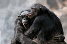 Sjimpanser trøster hverandre.