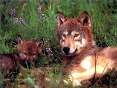 Rovdyr: Ulv og ulvevalp.