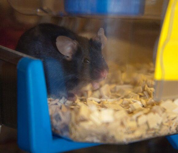 En mus i trangt plastbur.