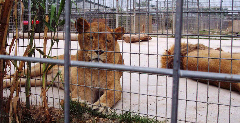 Løver i dyrehagen til Joe Exotic ligger i bur på hard betongunderlag