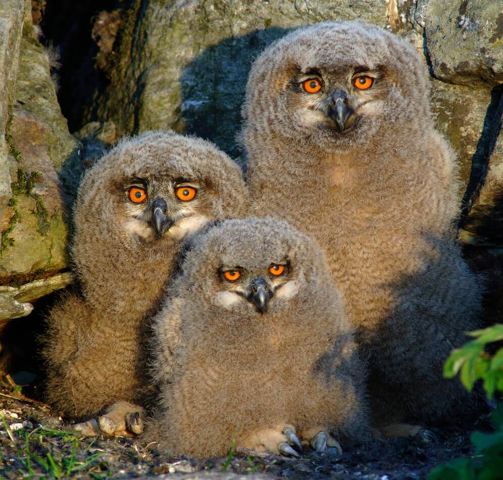 Bilde av tre ugler som står inntil hverandre og ser inn i kamera