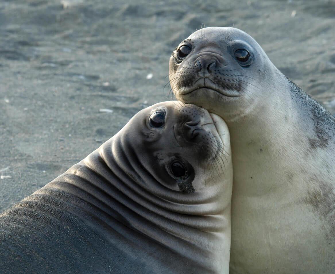 Bilde av to seler som koser med hverandre mens de ser inn i kamera