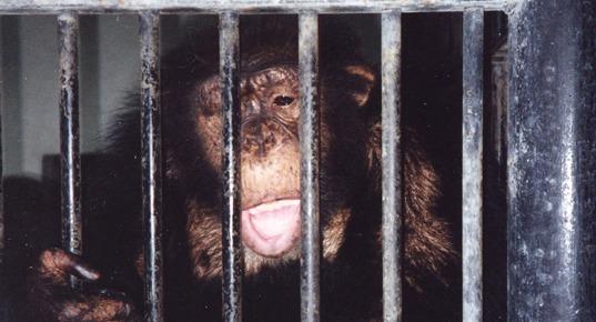 Sjimpansen Ola bak gitter i dyrehage.