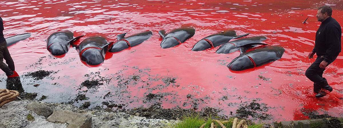 grindhvaler ligger døde i vannet
