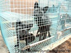 Sølvrevvalper i bur på anlegg for pelsdyr.