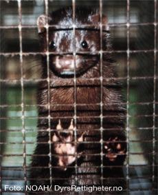 pels-noah-mink-mink står i bur