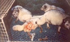 pels-noah-pelsfarm-død og spist blårev