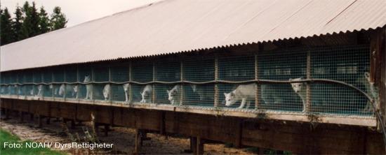 pels-noah-pelsfarm-lang rekke med hvit rev i bur. Foto: NOAH