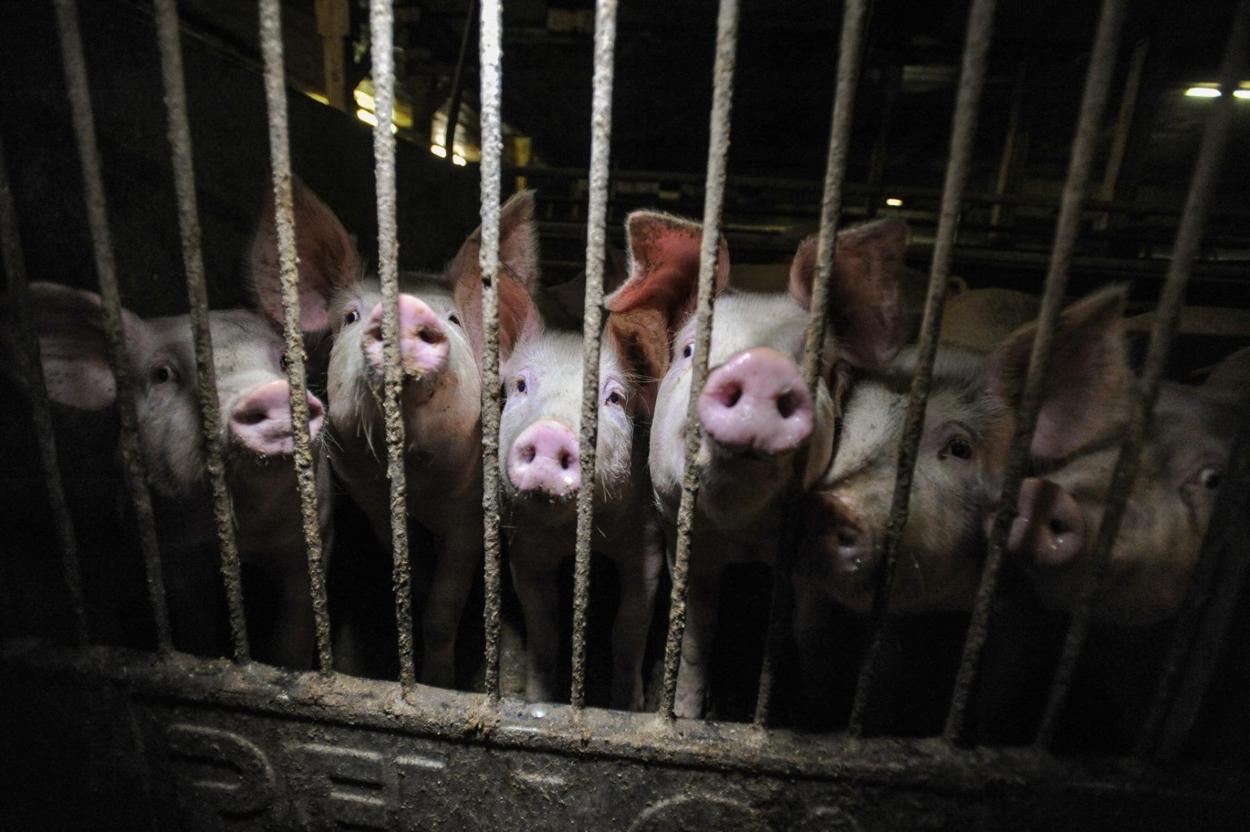 Bildet viser grisunger på grisefarm