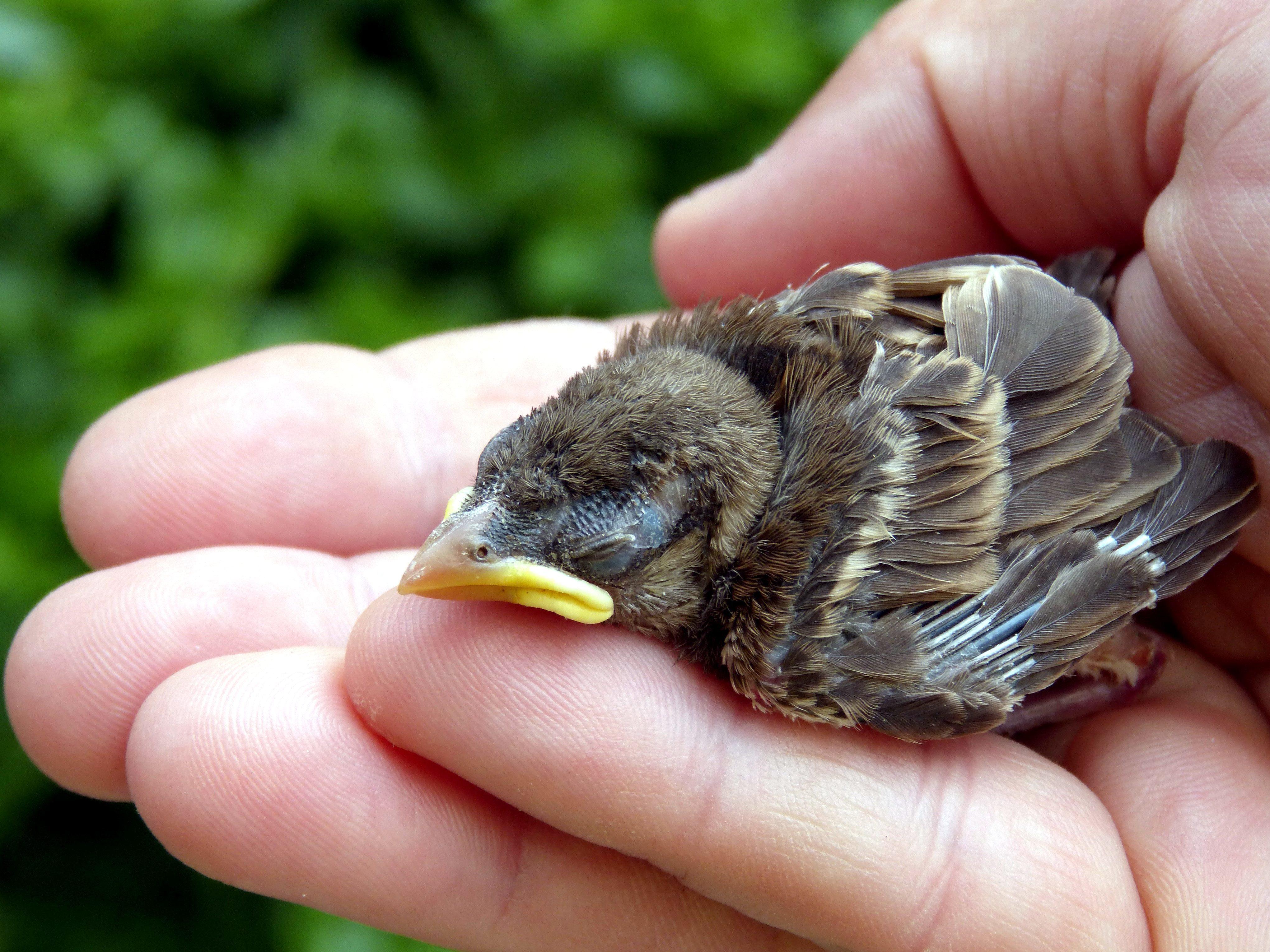 En fugleunge som ligger i en menneskehånd