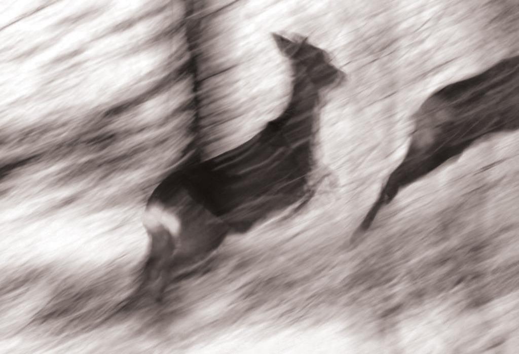 Rådyr i flukt. Foto: Stig Brathaug