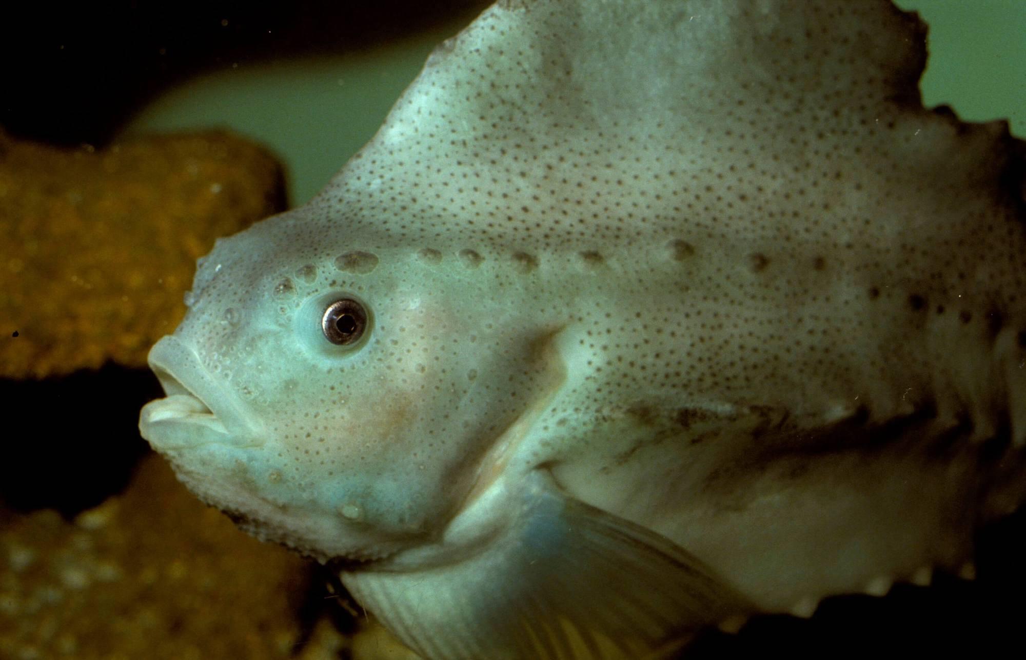 Leppefisk