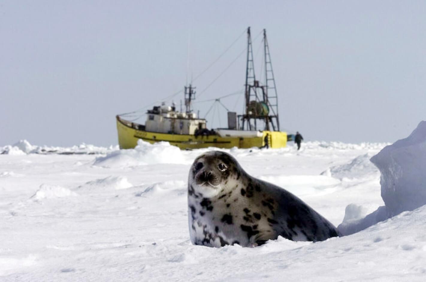 En selunge ligger på isen med en selfangstskute i bakgrunnen.
