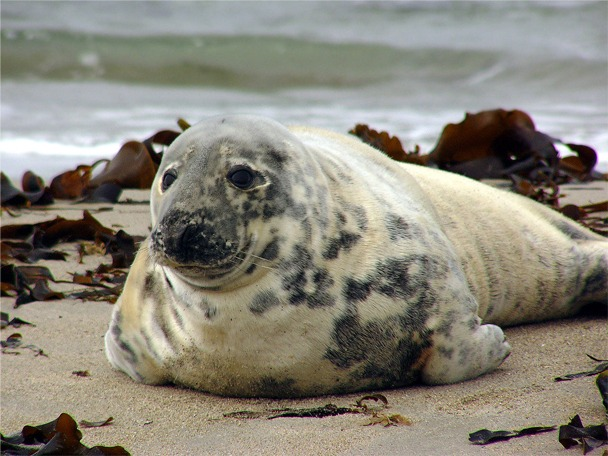 En sel som ligger på stranden