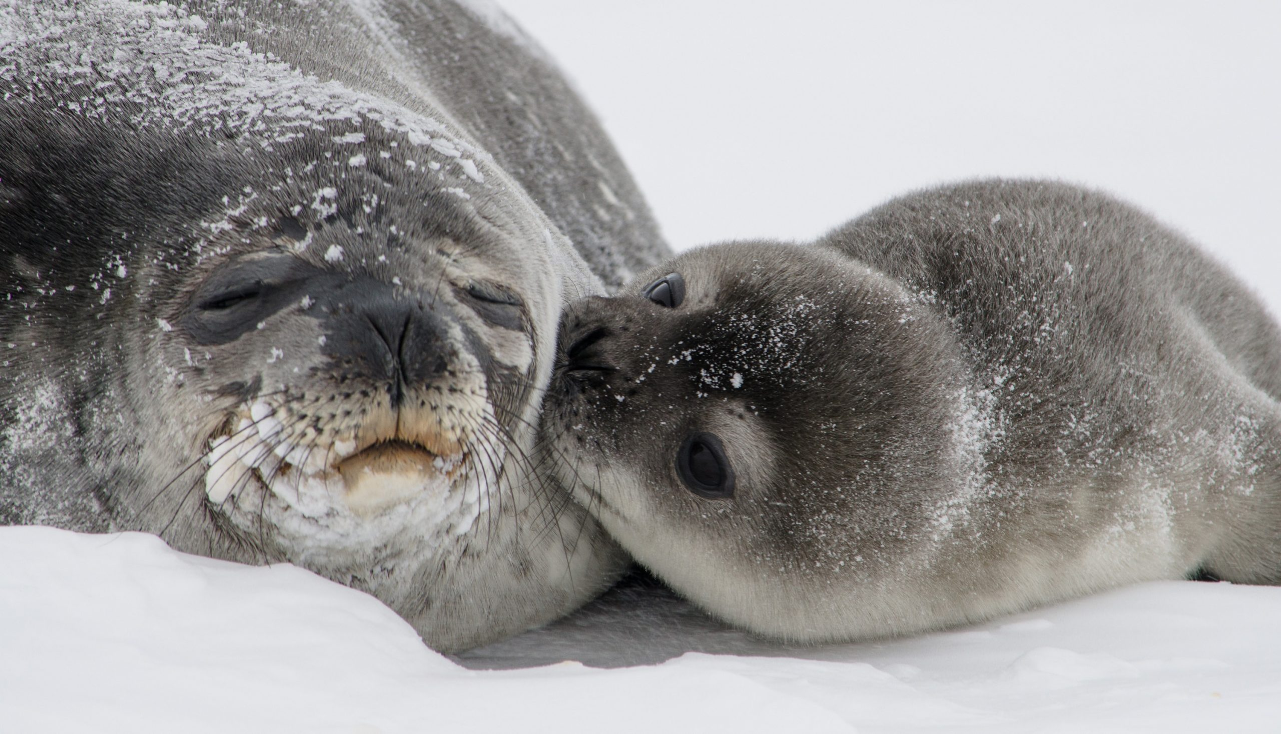 En selunge koser med moren sin i snøværet