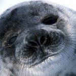 Sel- og hvalfangst - en skam for Norge