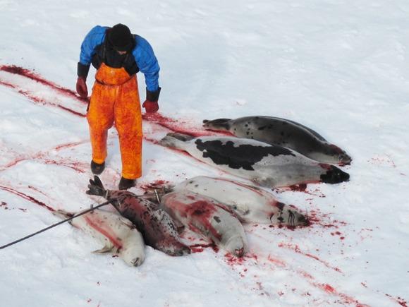 En selfanger samler døde sel seler på isen under selfangst.