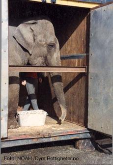 Kongsvinger er en av stadig flere kommuner som mener at ekefanter go andre eksotiske dyr ikke hører hjemme på sirkus.