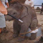 Peru forbyr ville dyr i sirkus!