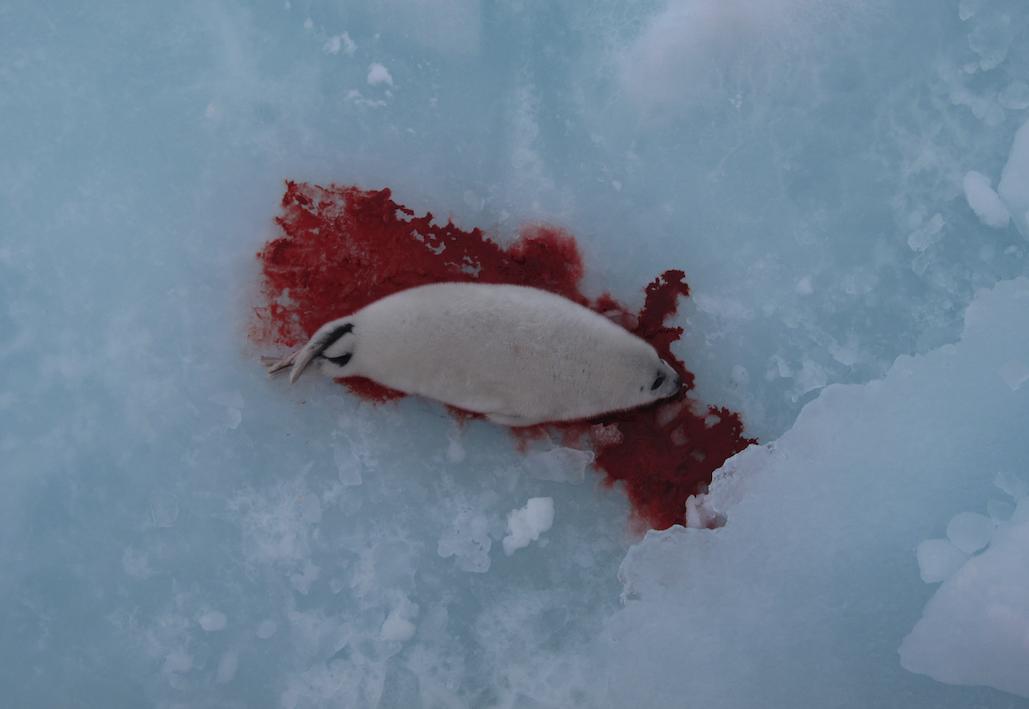 En kvitunge er skutt på isen.