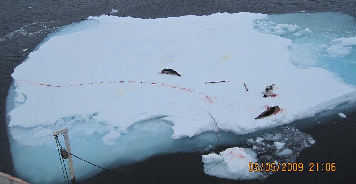 3 skutte seler ligger på et isflak, og et blodspor viser at en skadet sel er gått i vannet.