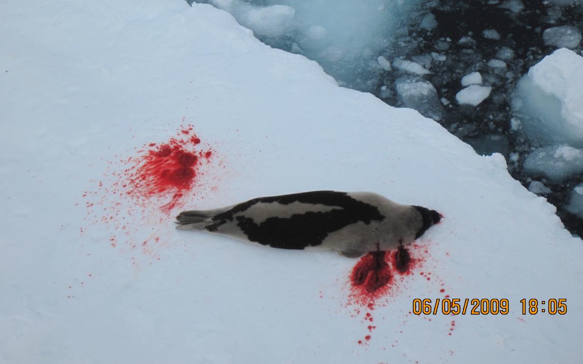 En sel er skadeskutt på isen med to synlige skuddsår i kroppen.