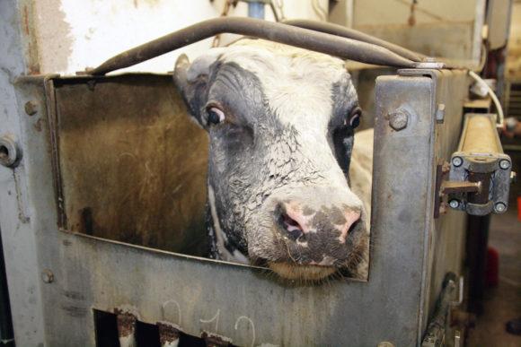 En kalv bare sekunder fra døden på slakteriet. Foto: Erik Lindegren