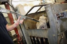 Kalven skytes i hodet på slakteriet. Foto: Erik Lindegren
