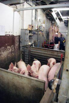 Grisunger på slakteri. Foto: Erik Lindegren