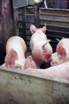 Redde griser på slakteri. Foto: Erik Lindegren