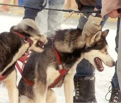Sledehunder
