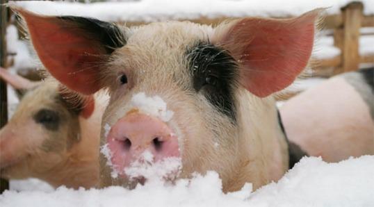 Gris i snø - juleglede uten kjøtt.
