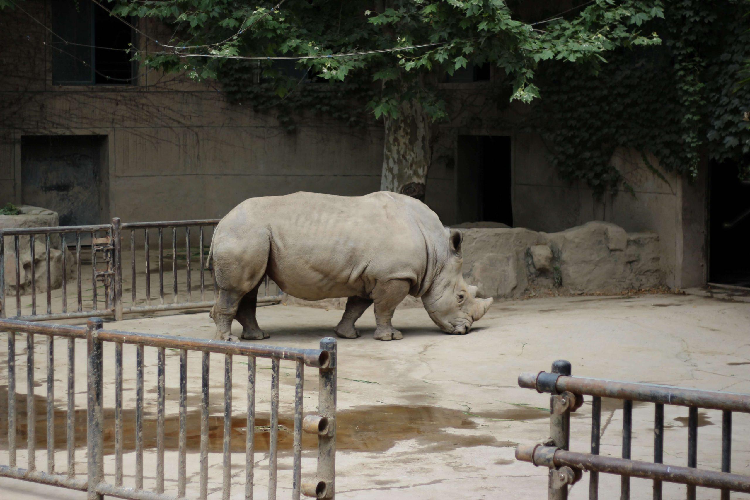 Bilde viser et nesehorn bak et gjerde i en dyrepark