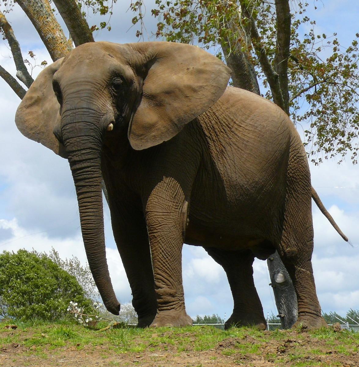 http://www.dyrsrettigheter.no/wp/wp-content/uploads/stolt-elefant-ute.jpg
