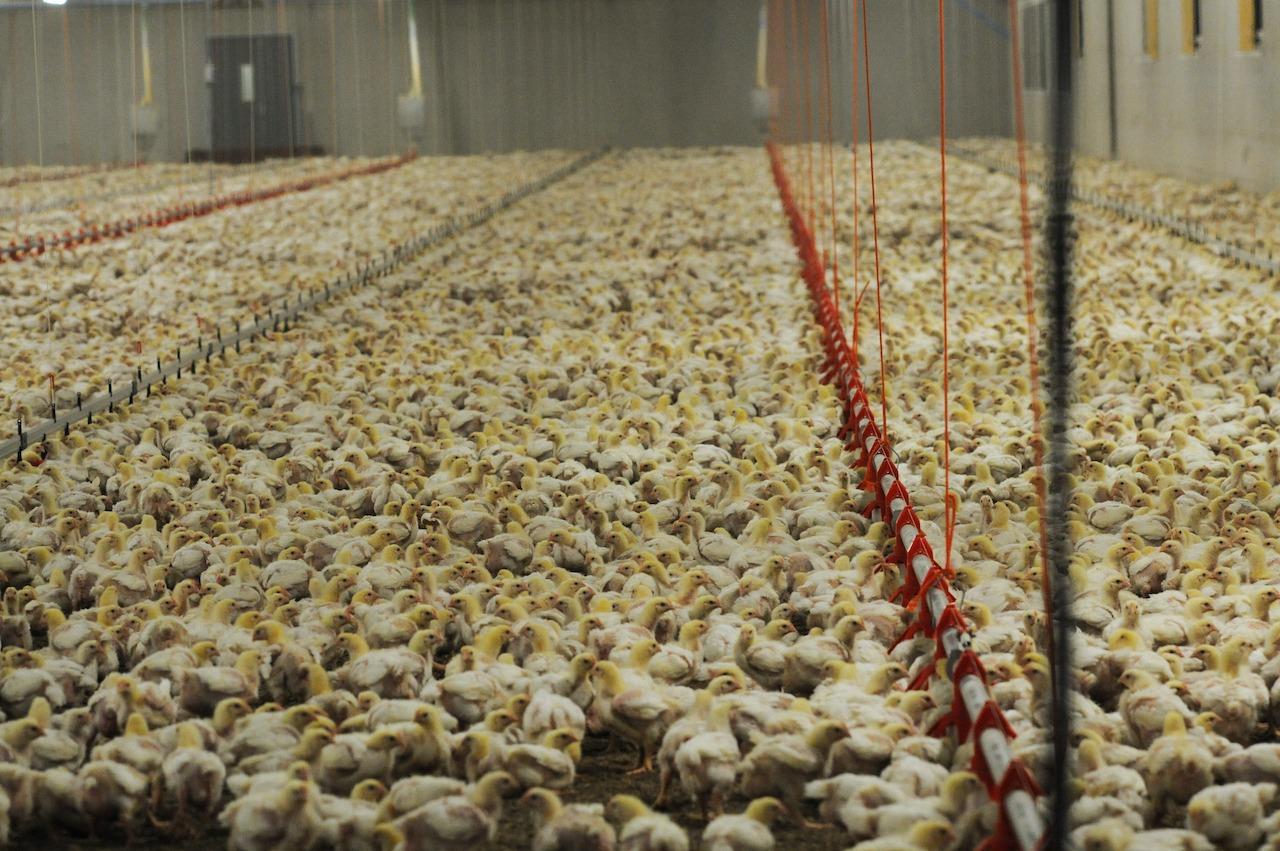 Masseproduksjon av kylling i Sverige. Tusenvis av kyllinger står tett i tett